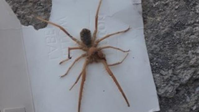 Sınırda et yiyen örümcek paniği